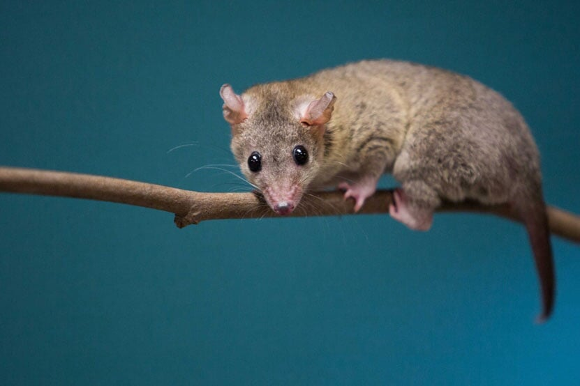 Brazilian Short Tailed Opossum