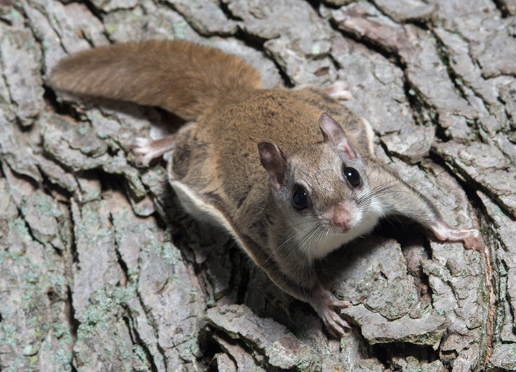 wild-dallas-flying-squirrel