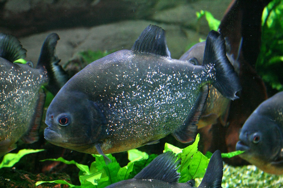 piranha-587661_960_720