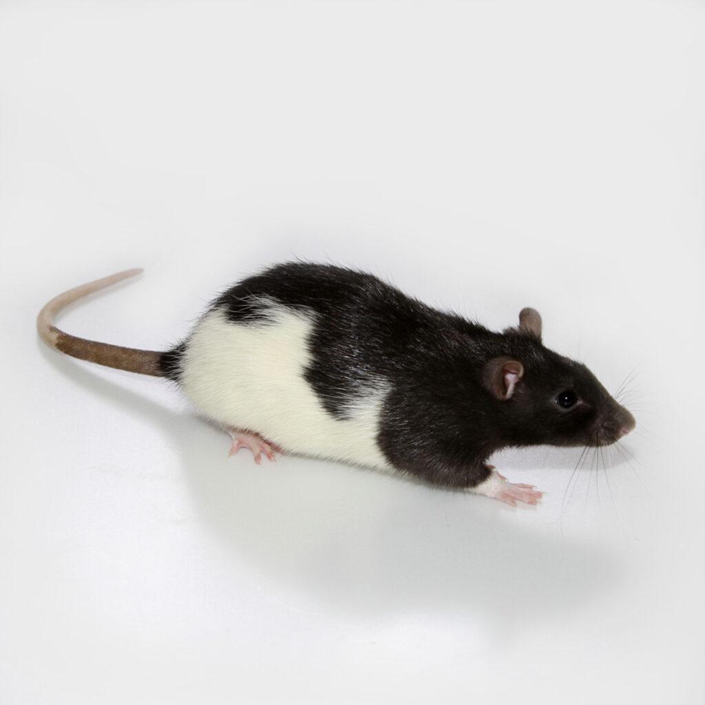 Hooded Rat