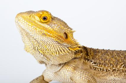 142065-425x282-bearded-dragon-head-shot