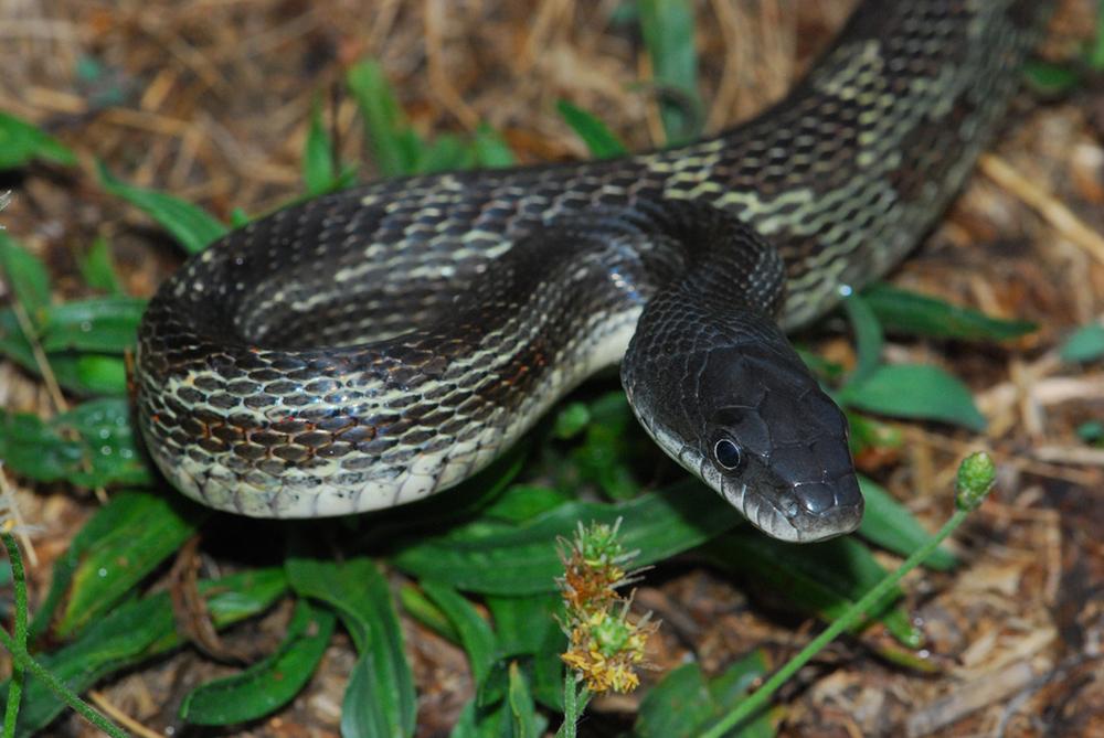 Black-Rat-Snake-1-