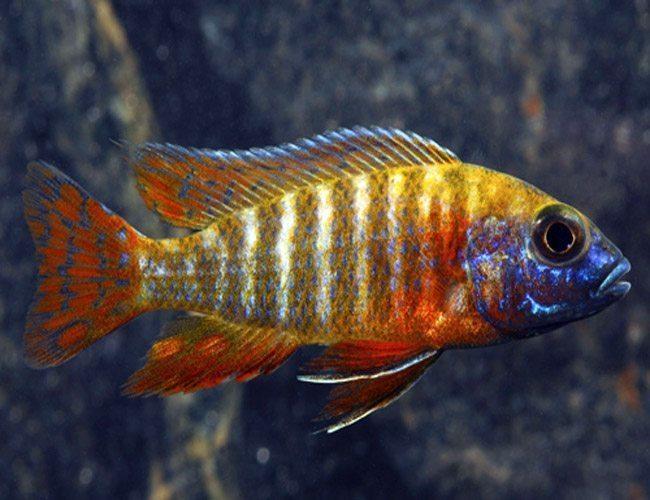 German-Red-Peacock-Cichlid