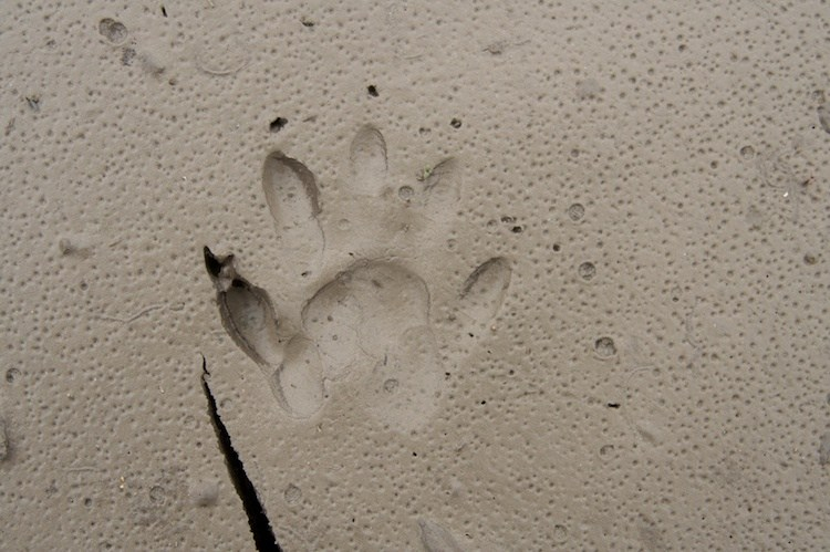 Raccoon-Tracks-3