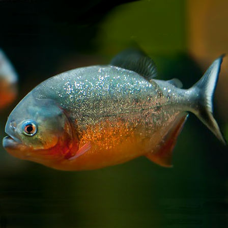 Red-Belly-Piranha-1″-Juvenile-Piranha
