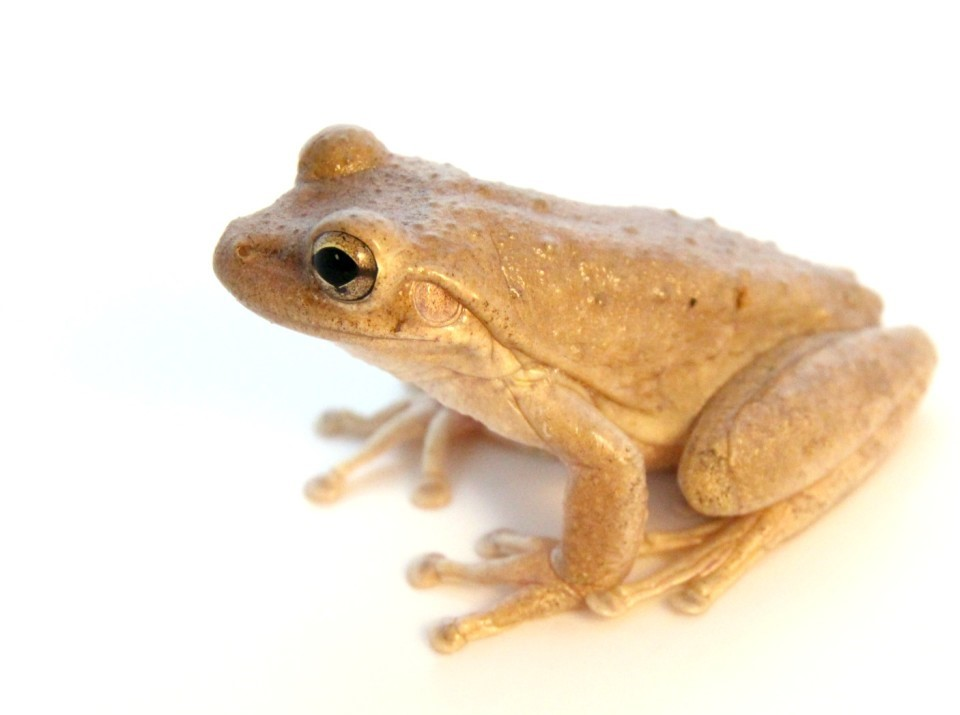 cuban-tree-frogs-are-good-pets-1024x816
