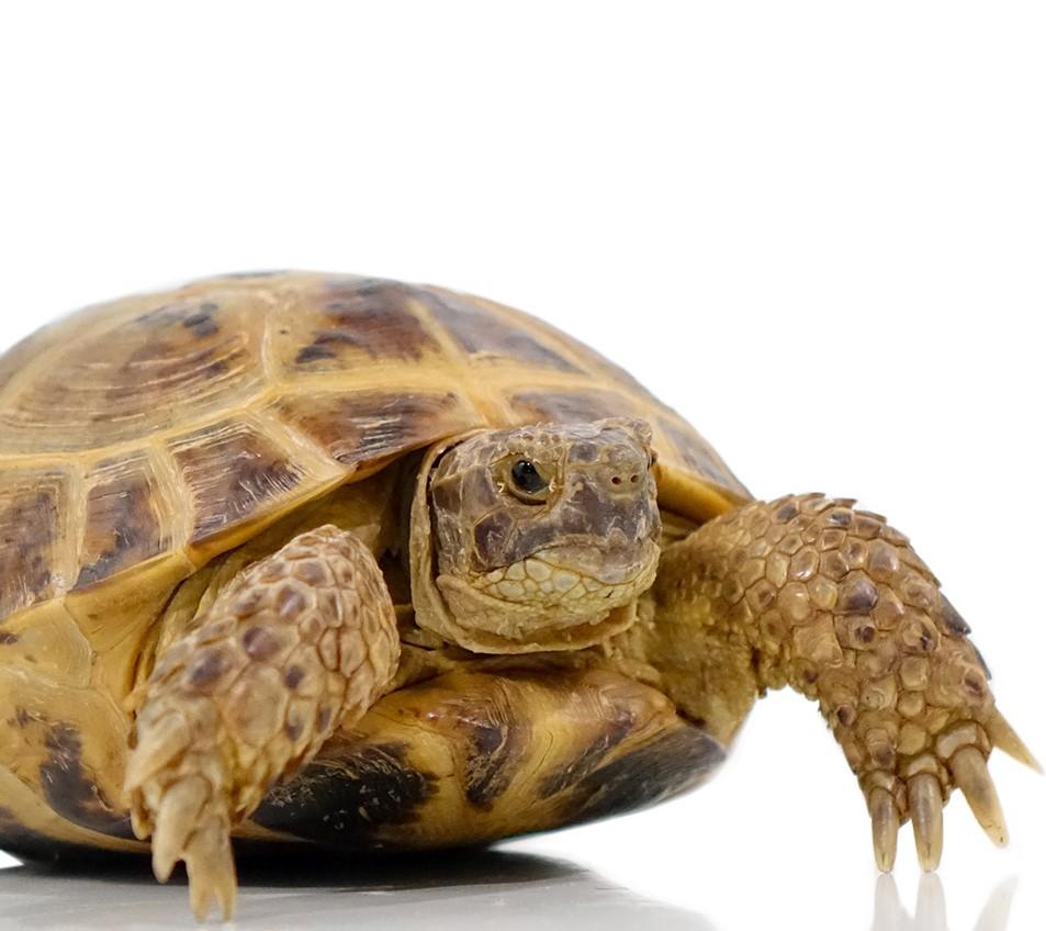 russian_tortoise_1