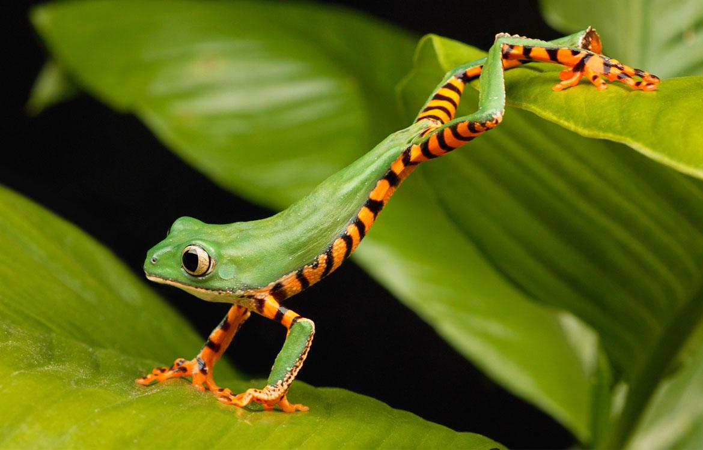 Jumping-frog