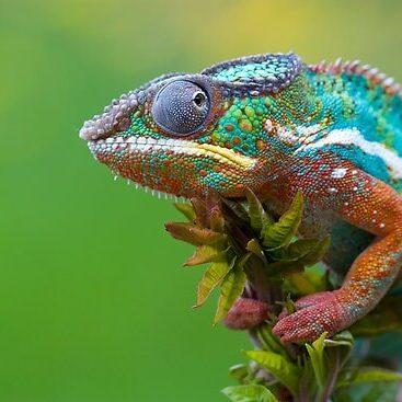 Panther Chameleons