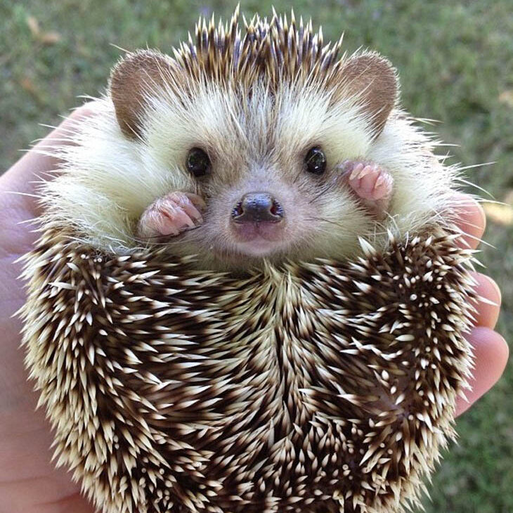 cute-hedgehogs-17